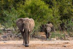 Famille d'éléphants avec le veau images stock
