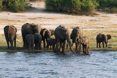 Famille d'éléphants dans la façade d'une rivière de Chobe Photo libre de droits