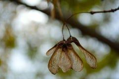 Famille d'Aceraceae de groupe de graine d'érable image stock