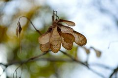 Famille d'Aceraceae de groupe de graine d'érable Images libres de droits