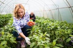 Famille d'agriculteur sélectionnant les légumes organiques dans le jardin photographie stock libre de droits