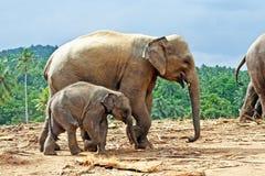 Famille d'Elefant dans le terrain découvert Photos libres de droits