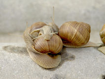 Famille d'escargots Images libres de droits