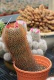 Famille d'espèces de cactus dans le pot Photographie stock libre de droits