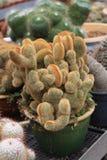 Famille d'espèces de cactus dans le pot Photos libres de droits