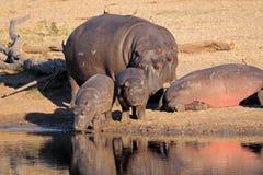 Famille d'hippopotame Photo stock