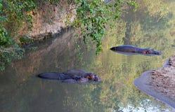 Famille d'hippopotame dans un petit fleuve Photos libres de droits