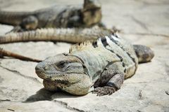 Famille d'iguane Photo stock