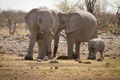 Famille d'éléphant Photo libre de droits