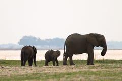 Famille d'éléphant Image stock