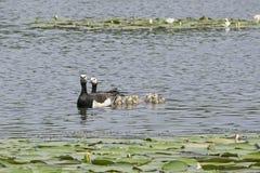 Famille d'oie de bernache Image libre de droits