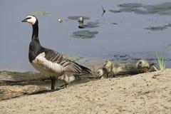 Famille d'oie de bernache Photo libre de droits