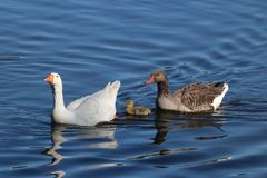 Famille d'oie nageant ensemble Images libres de droits