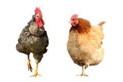Famille d'oiseau de ferme Image libre de droits