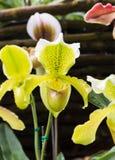 Famille d'Orchidaceae Images stock
