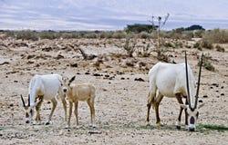 Famille d'Oryx dans la réserve naturelle, Israël Images stock