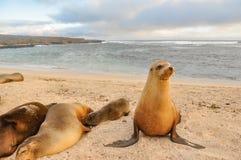 Famille d'otarie, plage de Loberia, îles de Galapagos, Equateur Images libres de droits