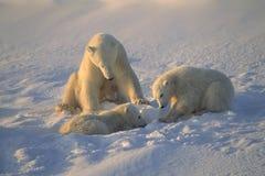 Famille d'ours blanc Images libres de droits