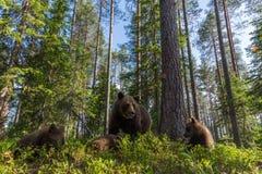 Famille d'ours de Brown dans la forêt finlandaise Photographie stock libre de droits
