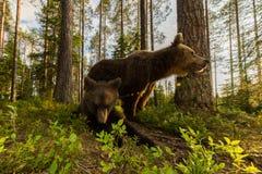 Famille d'ours de Brown dans la forêt finlandaise Photo stock