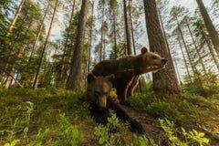 Famille d'ours de Brown dans la forêt finlandaise grande-angulaire Image libre de droits