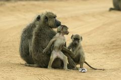 Famille de babouin Photo stock