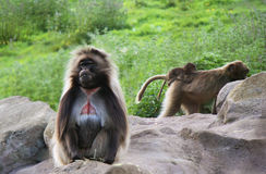 Famille de babouin de Gelada Image libre de droits