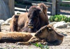 Famille de bison Images libres de droits