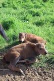 Famille de bisons Le bison europ?en, St Petersburg, Toksovo, bison ?tait n? dans la r?servation image stock