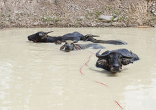 Famille de Buffalo dans la piscine Photo libre de droits