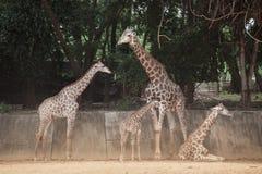 Famille de camelopardalis de Giraffa d'espèce de Giraffidae Photo libre de droits