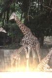 Famille de camelopardalis de Giraffa d'espèce de Giraffidae Photographie stock libre de droits