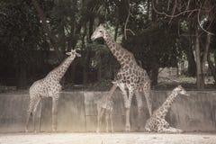 Famille de camelopardalis de Giraffa d'espèce de Giraffidae Image stock