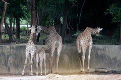 Famille de camelopardalis de Giraffa d'espèce de Giraffidae Photographie stock