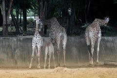 Famille de camelopardalis de Giraffa d'espèce de Giraffidae Image libre de droits
