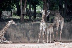 Famille de camelopardalis de Giraffa d'espèce de Giraffidae Images stock