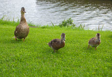 Famille de canard Photos stock