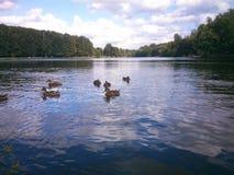 Famille de canard Image libre de droits