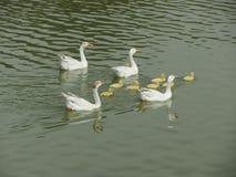 Famille de canard Photo stock