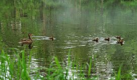 Famille de canard Photographie stock