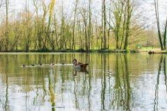 Famille de canard avec des petits animaux sur un lac photo stock