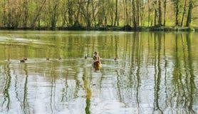 Famille de canard avec des petits animaux sur un lac photographie stock