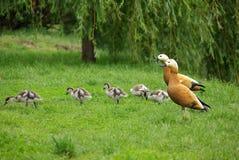Famille de canard sur la nature Photo libre de droits