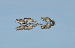 Famille de canards sauvages Photos libres de droits