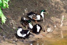 Famille de canards se tenant sur un rivage de lac Photographie stock