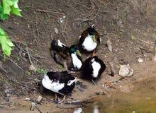 Famille de canards se tenant sur un rivage de lac Photos stock