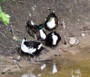Famille de canards se tenant sur un rivage de lac Photos libres de droits