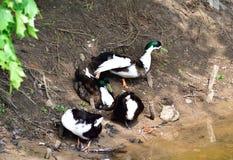 Famille de canards se tenant sur un rivage de lac Image libre de droits