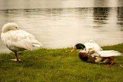 Famille de canards sur Sunny Day photo libre de droits
