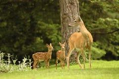 Famille de cerfs communs